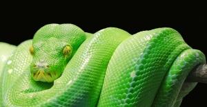 OMFG TRUMP - Green Snake
